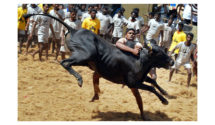 jallikattu, bull taming, bull sports, tamil nadu, supreme court, bull, animal protection, culture, tradition